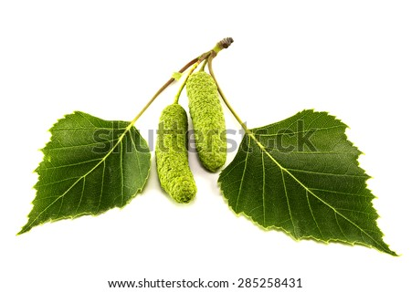 Leaves of birch on a white background - stock photo