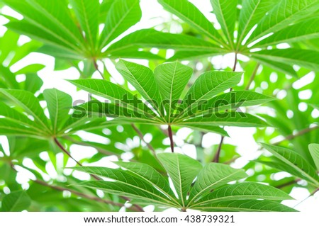 Leaves of cassava plant.natural background - stock photo