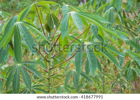 Leaves of cassava plants. Cassava is the third largest source of food carbohydrates in the tropics after rice and maize.  - stock photo