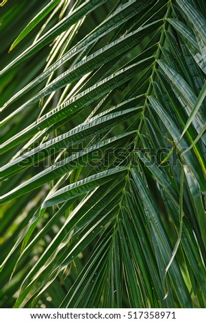 Leaves of coconut tree.