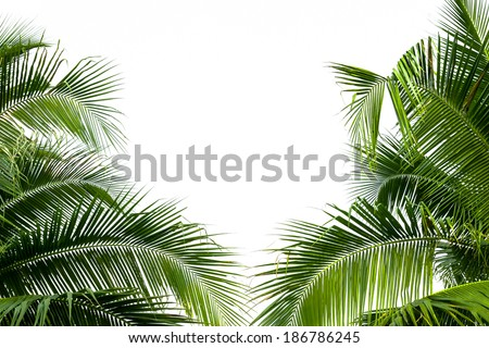 Leaves of coconut tree isolated on white background. - stock photo