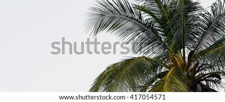 Leaves of coconut tree isolated on white background.Palm leaves isolated on white.Coconut palm trees against on white background.Leaves of palm tree isolated on white background - stock photo