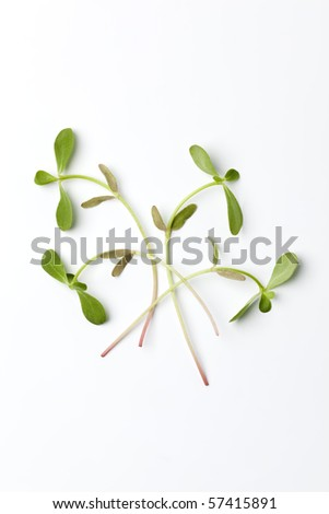 Leaves of  Common purslane isolated on white background