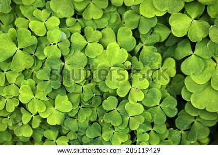 Leaves of common wood sorrel (Oxalis acetosella). - stock photo