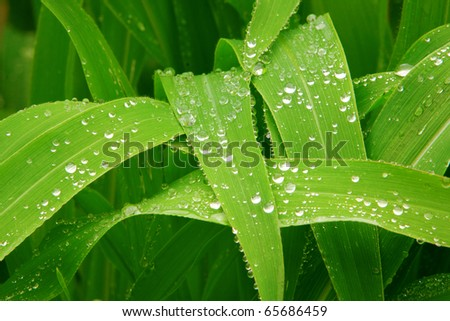 Leaves of corn stocks after big  rain drops came down. - stock photo