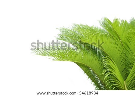 leaves of cycas tree - stock photo