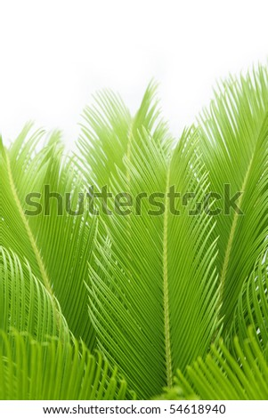 leaves of  cycas  tree isolated on white - stock photo