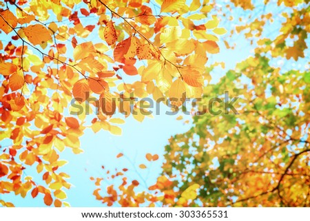 leaves of fall yellow cherry tree  in  autumn park, retro toned - stock photo