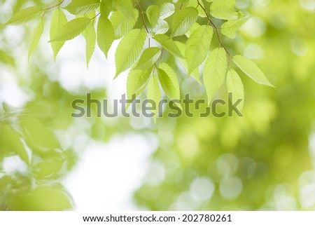 Leaves of fresh green zelkova