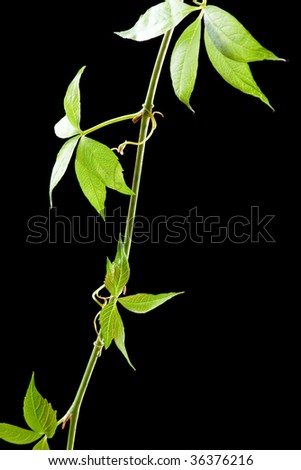 leaves of grape - stock photo