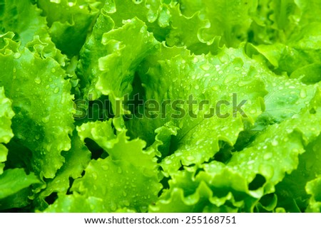 Leaves of green salad closeup - stock photo