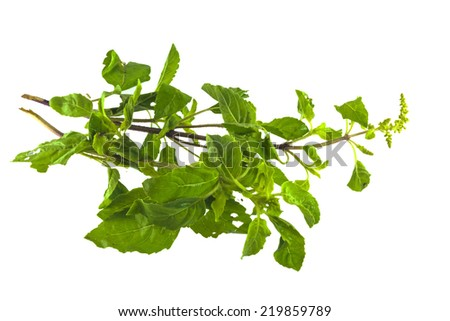 Leaves of holy basil isolated on white background.