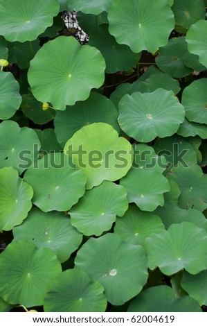 Leaves of lotus plants in Kyoto, Japan.