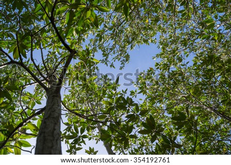 Leaves of mangrove trees on Sky background - stock photo