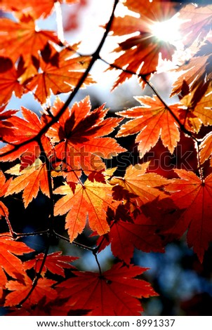 Leaves of maple - stock photo