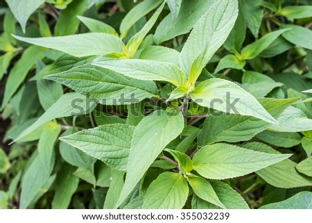 Leaves of melon sage / sage plant / melon sage