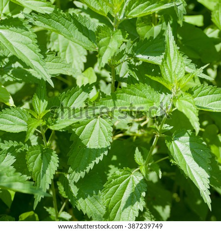Leaves of nettles - close up.Very medical plant.  - stock photo