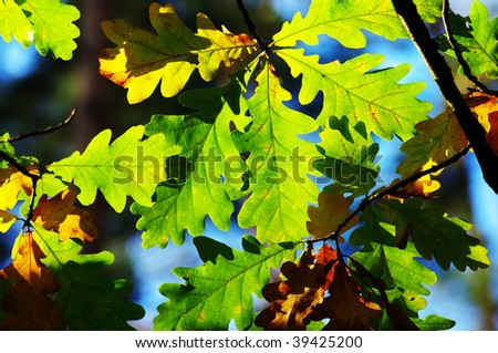 leaves of oak on natural background - stock photo