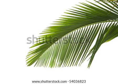 Leaves of palm on white background - stock photo