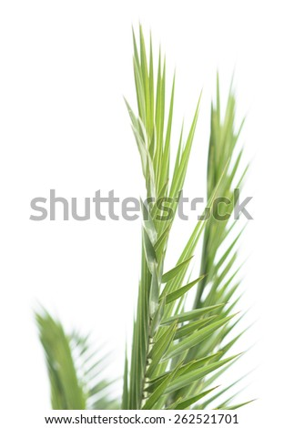 Leaves of palm tree isolated on the white background - stock photo