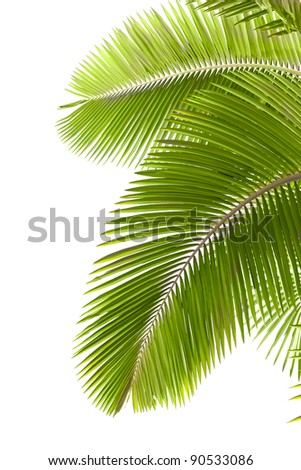 Leaves of palm tree  isolated on white background - stock photo