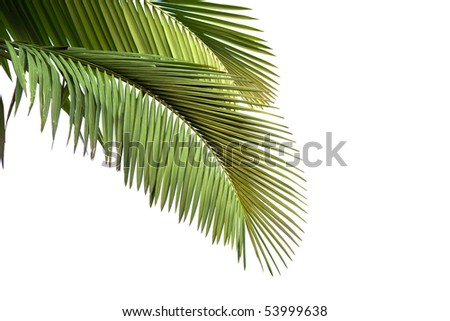 Leaves of palm tree  isolated on white background in sunset - stock photo
