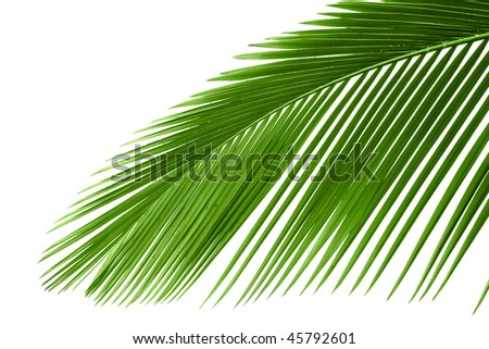 Leaves of palm tree with waterdrop isolated on white background