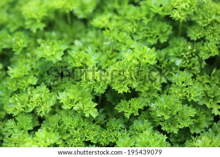 Leaves of Parsley - stock photo