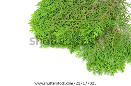 Leaves of pine tree or Oriental Arborvitae , Scientific Name:Thuja Orientalis , on white background