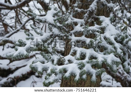 Leaves of pine trees covered by snow in Hailuogou glaciers forest park, Sichuan, China