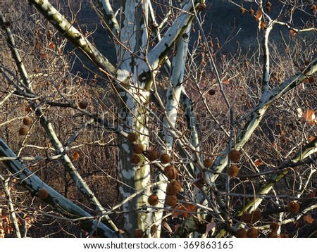 Leaves of Plane Trees in autumn - stock photo