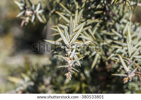 Leaves of Prickly juniper, Juniperus oxycedrus. Photo taken in Guadarrama Mountains, Madrid, Spain - stock photo