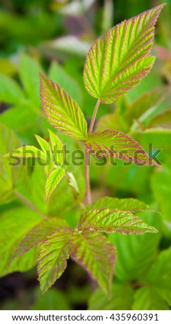 leaves of raspberry forest in the natural environment, the wood, young and fresh, green with a bordering lilac and pink color