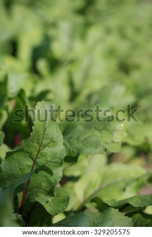 Leaves of red beet.