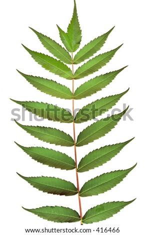 Leaves of sumac tree - stock photo