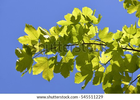 Leaves of sycamore tree (Acer pseudoplatanus) on the blue sky background