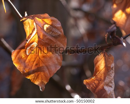 Leaves of the common beech - stock photo