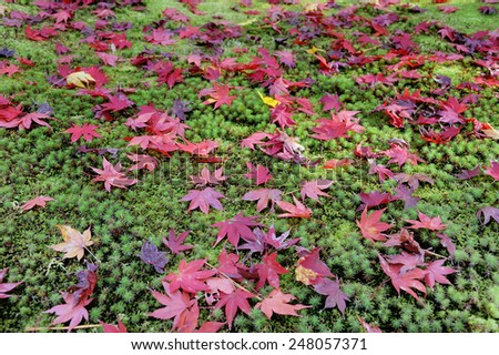 Leaves of the Japanese maple tree on mossy ground in autumn season at Kyoto Ginkakuji Precinct - stock photo