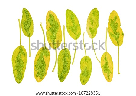 leaves of the multicolored sage (salvia officinalis) against a white background
