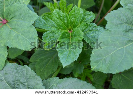 Leaves of the okra. - stock photo