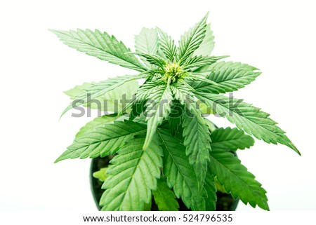 leaves of the plant cannabis, marijuana in pot cultivation of varieties of medical marijuana at home