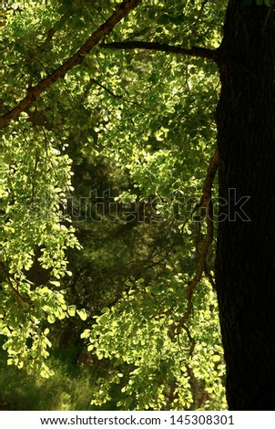 Leaves of the tree are highlighted in bright sun. The sun shines through the leaves