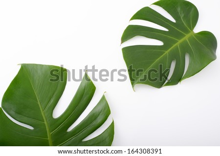 Leaves of tropical plant - stock photo