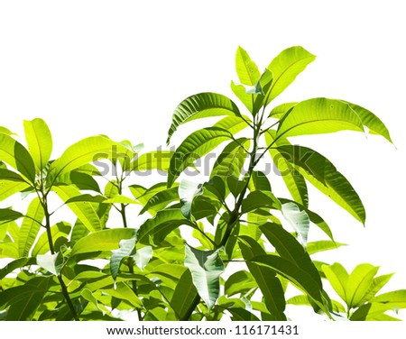 Leaves of tropical tree isolated on white background. Selective focus - stock photo