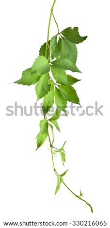 leaves of vine are isolated on a white background - stock photo