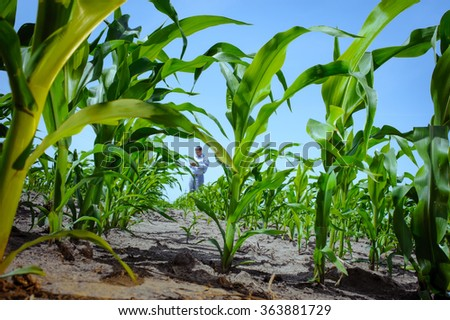 Leaves of young shoots of corn at the farmer's field - stock photo