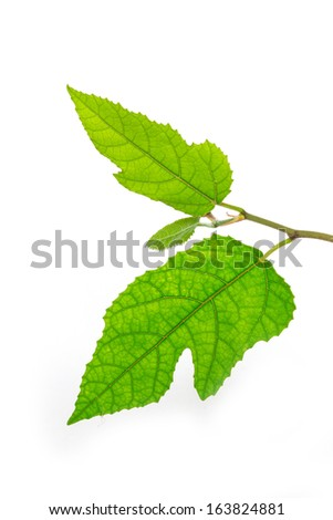 Leaves on a white background.