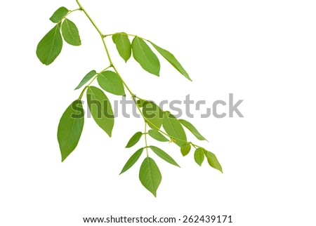 leaves on the branch on white background  - stock photo