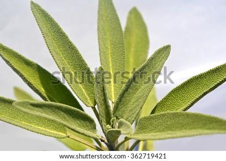 Leaves sage tea - stock photo