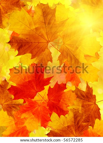 Leaves  tree  maple - stock photo